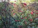 Podzimní šípky jako by lákaly ke sběru, jsou hodnotným zdrojem vitamínu C, ale pro lidi je jednodušší se od přírody odpoutat koupí potřebných látek v lékárně, bohužel...