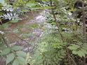 Za tímto hustým křovím se skrývá levobřežní přítok řeky Moravy nad Hanušovicemi.