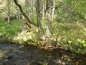 Buky všech velikostí, stáří i zdravotních stavů, lemují vlastně celý horní tok řeky Moravy.