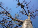 Jmelí je skutečný parazit a topol bývá jeho častým hostitelem, tento je však již téměř mrtvý, zato parazit dokáže vysát poslední zbytky života z jeho dřeva.