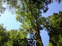 Takový krásný jasan můžeme spatřit v Ranšpurku, což je národní přírodní rezervace uprostřed hlubokých luhů v srdci soutoku řeky Moravy a Dyje.