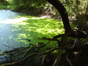 Sytá zeleň žabince patří k překrásným barevným lužním variacím po levém břehu řeky Moravy pod Stření.