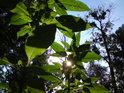 Obrázek jako vystřižený z CHKO Litovelské Pomoraví. Slunce prosvítá všudypřítomnými listy netýkavky žláznaté a jmelí se drží na topolech bílých.