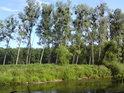 CHKO Litovelské Pomoraví má své charakteristické znaky, ke kterým patří také topoly bílé, jmelím obrostlé, západními větry nakloněné.