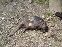 Uhynulý bobr byl již dědečkem, ale v letním parnu to zajisté není místo lákavé. Jsme u jezu na Moravě u Lukavice.