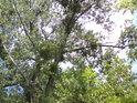 Jmelí je v topolech u Moravy jevem velice častým.
