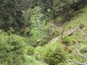 Smrky rostou téměř v korytě pravobřežního přítoku Moravy.