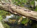 Padlý strom poslouží různému hmyzu a to i přechodu řeky.