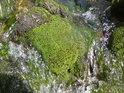 Čistá vodní zeleň na horním toku Moravy.
