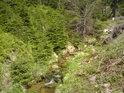 Pravý břeh Moravy je tu porostlý mladými smrky.