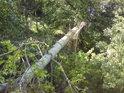 Zlomený topol na levém břehu Moravy, který způsobil prohnutí zábradlí.