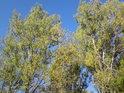 Pohled do korun topolů s nastupujícím podzimem.