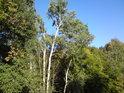 Zajímavý kmen topolu v národní přírodní rezervaci Horný les.