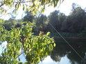 Pohled přes listy broskvoní na rakouský břeh řeky Moravy z obce Vysoká při Morave.