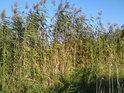 Hustý rákosový porost, asi 3 metry vysoký v CHKO Záhorie.